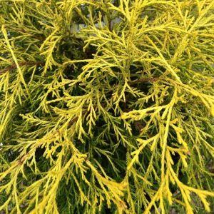 Japanese Lemon Thread False Cypress Overview