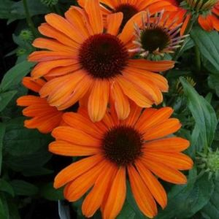 Julia Coneflower blooms