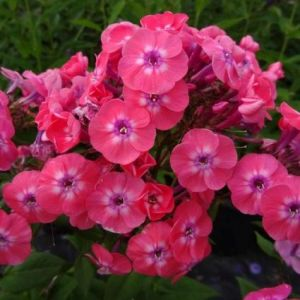 Junior Dance Phlox blooms and foliage