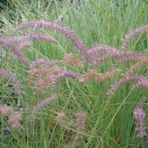 Karley Rose Fountain Grass Overview