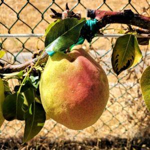 Kieffer Pear tree photos
