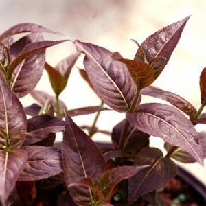 Kodiak® Black red leaves