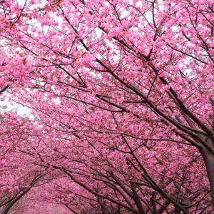 Kwanzan Flowering Cherry Branches