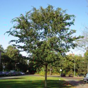 Lacebark Elm Small Overview