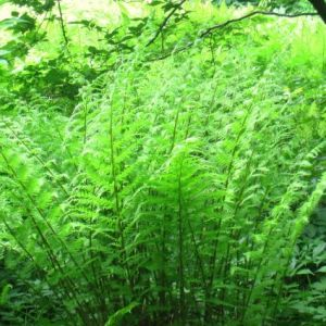 Lady Fern Overview