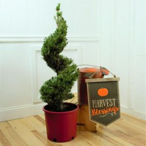 Dwarf Alberta Spruce Spiral Topiary Overview