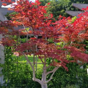 Japanese Red Maple overview