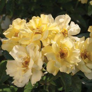 Lemon Drift® Rose Overview