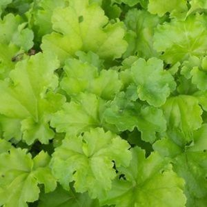 Lime Rickey Coral Bells overview