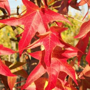 Palo Alto Sweetgum Leaves