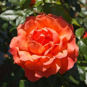 Livin Easy Rose single bloom