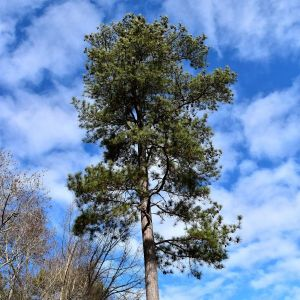 Loblolly Pine Tree Overview