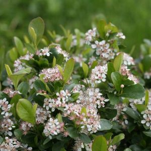 Low Scape Mound Chokeberry foliage and blooms close up