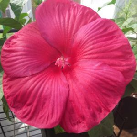 Luna Red Hibiscus Overview