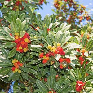 Marina Strawberry tree fruit