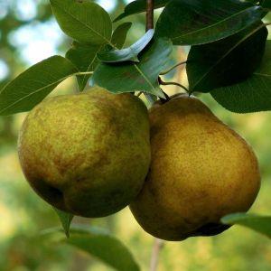 Warren Pear Tree, pear tree leaves