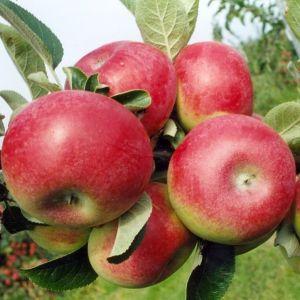 McIntosh Apple Tree fruit