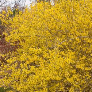 Meadowlark Forsythia Overview
