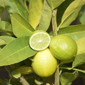 Mexican Key Lime fruit and foliage