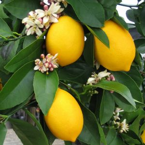 Citrus Lemon Tree Fruit