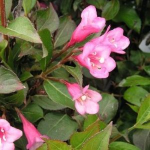 Minuet Weigela blooms and foliage