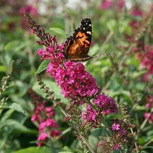 Miss Ruby Butterfly Bush blooms with butterfly
