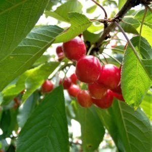 Montmorency Cherries Overview