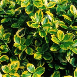 Moonshadow Euonymus overview