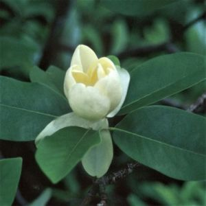 Moonglow Sweet Bay Magnolia bloom and foliage