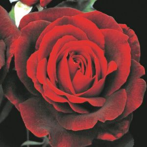 Mr. Lincoln Rose Overview