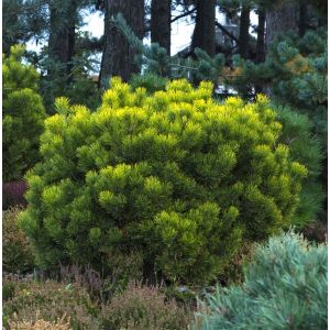 Mugo Pine Overview
