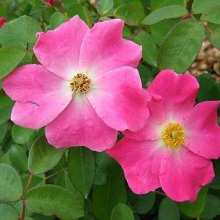 Nearly Wild Rose Flowers