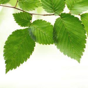 New Harmony Elm Foliage