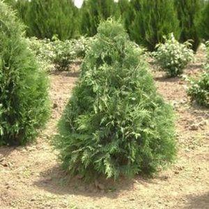 Nigra Arborvitae