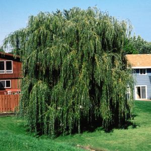 Niobe Weeping Willow Overview
