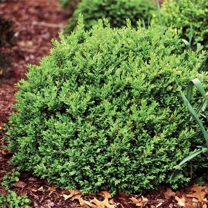 North Star Boxwood Overview