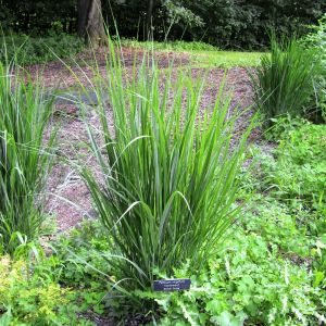 Northwind Switch Grass Overview