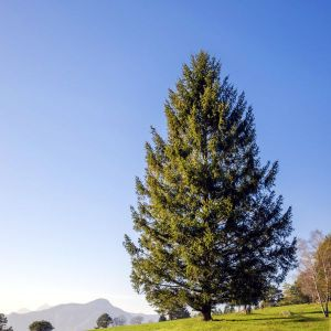 Norway Spruce Tree Overview