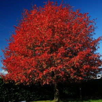 Shumard Oak Tree Overview