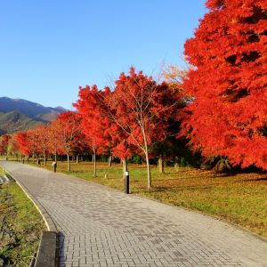 October Red Maple Tree Overview
