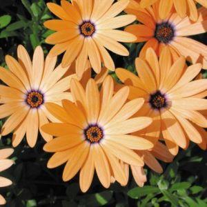Orange SymphonyOsteospermum blooms