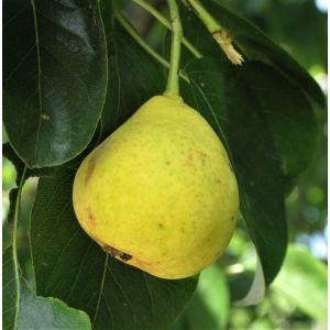 Orient Pear Tree, buy Orient Pear Tree