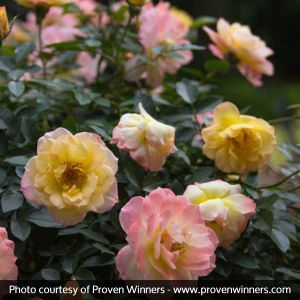 Oso Easy® Italian Ice® Rose blooms and foliage