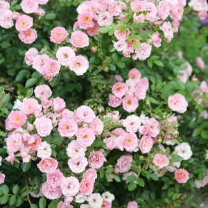 Oso Happy® Petit Pink Rose lots of blooms