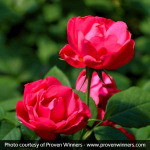 Oso Easy® Double Red Rose Close Up