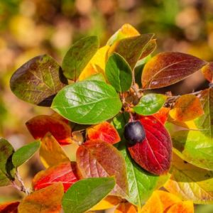 Peking Cotoneaster Overview