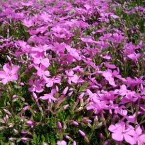 Phlox Emerald Pink Overview