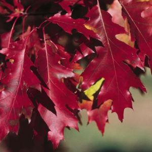 Pin Oak Tree Red Fall Color Leaves