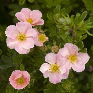 Pink Beauty Potentilla flowers an foliage