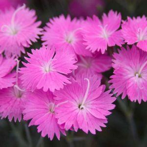 Firewitch Dianthus Flower Close Up